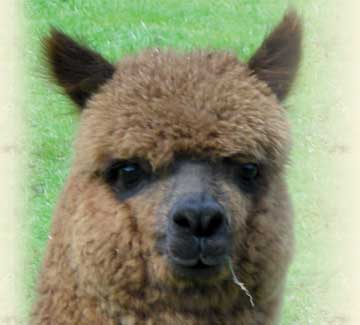 Alpaca Adoption